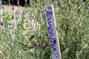 Lavender at Local Choices